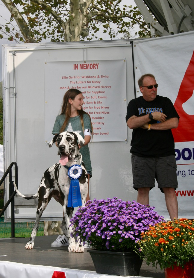 Great Dane wins Best Lap Dog contest at Puttin' on the Dog.